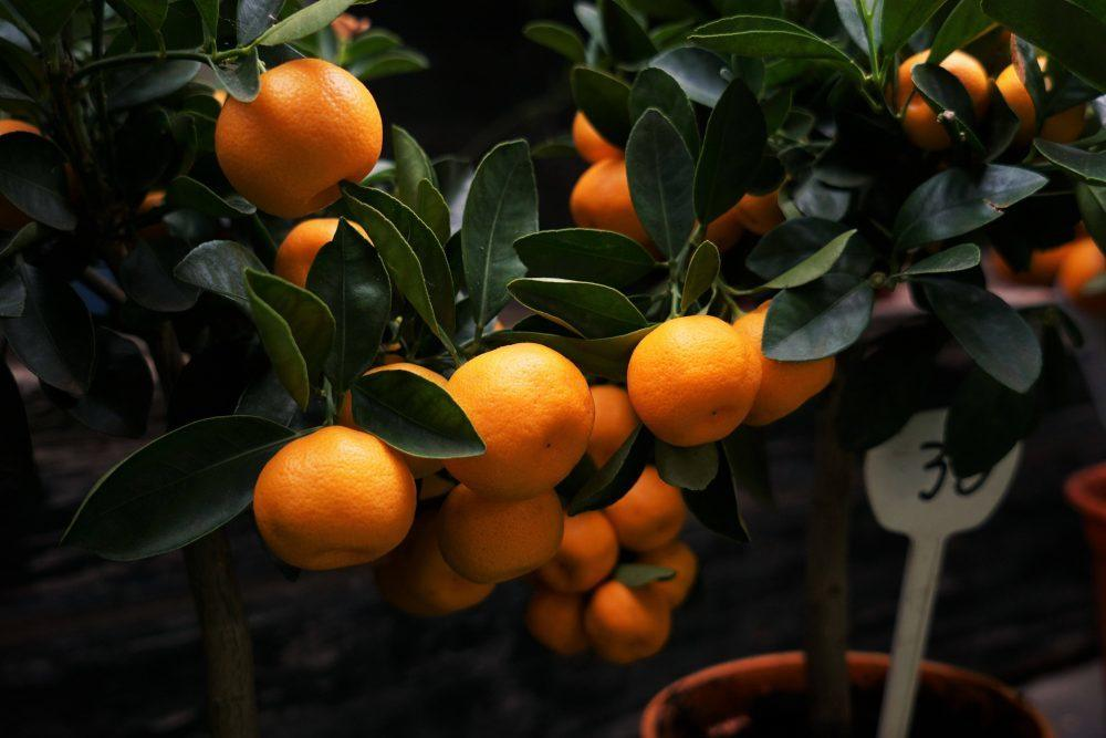 Oranges growing on trees with leaves